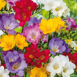 Freesia Mix