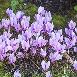 Hardy Fall Blooming Cyclamen (Cyclamen hederifolium)