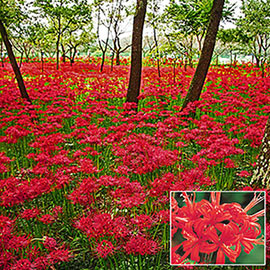 Lycoris radiata (Red Spider Lily)