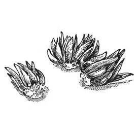 Ranunculus Mixed (Persian Buttercup)