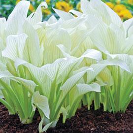 Hosta White Feather