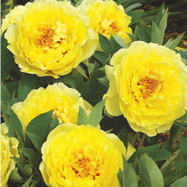 Itoh Peony Yellow Crown