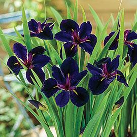 Louisiana Iris Black Gamecock