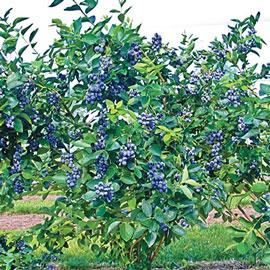 Blueberry Earliblue
