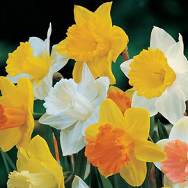 Mixed Trumpet Daffodils for Naturalizing
