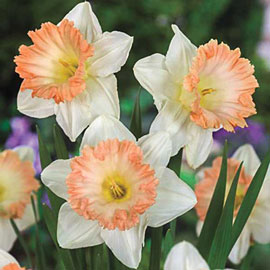 Trumpet Daffodil British Gamble