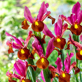 Dutch Iris Red Ember