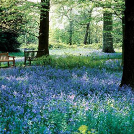 Original English Bluebells (Hyacinthoides non-scripta)