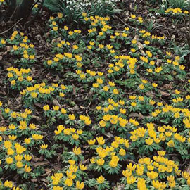 Winter Aconite (Eranthis cilicica)