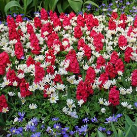 Double Hyacinth Hollyhock