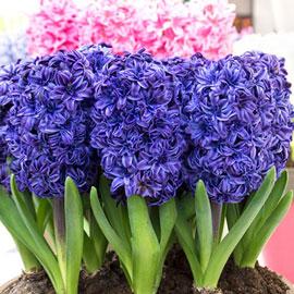 Double Hyacinth Royal Navy