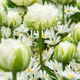 Double Fringed Tulip Snow Crystal