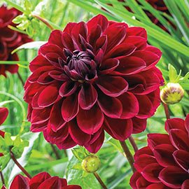 Large Decorative Dahlia Arabian Night