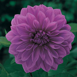 Large Decorative Dahlia Le Baron