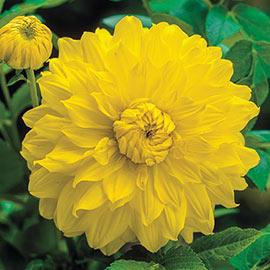 Large Decorative Dahlia Golden Emblem
