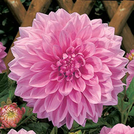 Large Decorative Dahlia Lucky Number