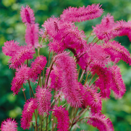 Bottlebrush Plant (Sanguisorba obtusa)