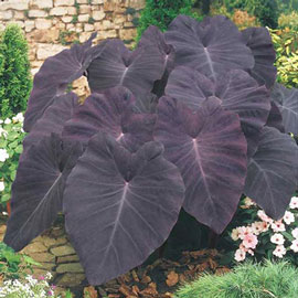 Colocasia esculenta Black Magic