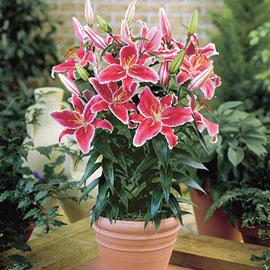 Border Lilies Starlight Express