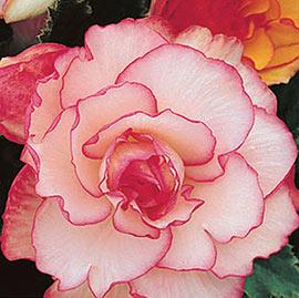 Picotee Begonias White-Red