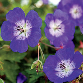 Hardy Geranium Rozanne