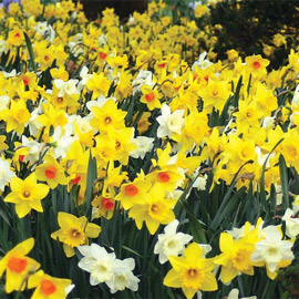 All Season Daffodil Collection