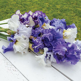 Blue German Iris Mix