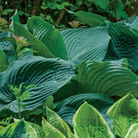 Hostas For Sale >> Buy Hostas For Shade At K Van Bourgondien At Wholesale Prices