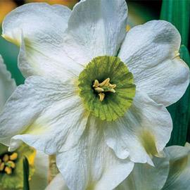 Small Cupped Daffodil Sinopel