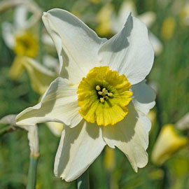 Small Cupped Daffodil Sinopel