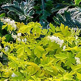 Dicentra spectabilis White Gold