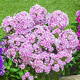 Details about  /PHLOX TWINKLE DWARF MIXED 120 Seeds FLOWER GARDEN cottage HEDGE BORDER easy grow