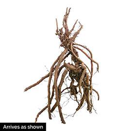 Fern-Leaf Hardy Geranium La Veta Lace