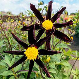 Single Orchid Dahlia Verrone's Obsidian