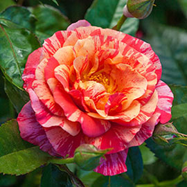 Rose Frida Kahlo ® 1YR