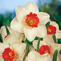 Large-Cupped Daffodil Decoy