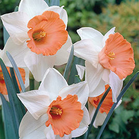 Large-Cupped Daffodil Chromacolor