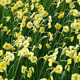 Jonquilla Daffodil Sun Disc