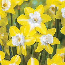 Jonquilla Daffodil Pipit