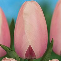Darwin Hybrid Tulip Salmon Impression