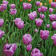 Late-Flowering Tulip Violet Beauty