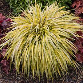 Aureola Hakone Grass (Japanese Forest Grass)