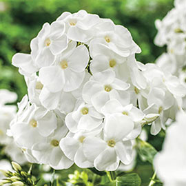 Hardy Tall Phlox White