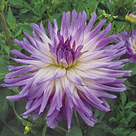 Dinnerplate Dahlia Mingus Randy