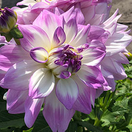 Decorative Dahlia Mikayla Miranda