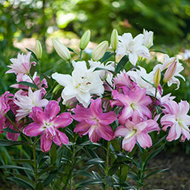 Double Oriental Lily Lotus Mix