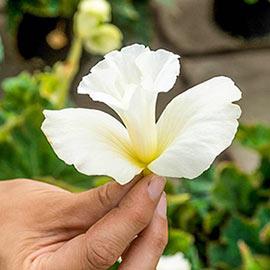 Daffodil Begonia Mix