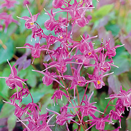 Epimedium Lilafee
