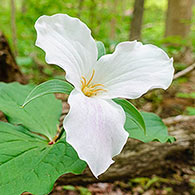 Great White Trillium (Trillium grandiflorum)
