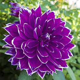 Dinnerplate Dahlia Pramie 18